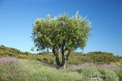 Оливковое дерево стоковая фотография