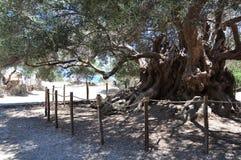 Оливковое дерево Moumental Kavousi Стоковая Фотография