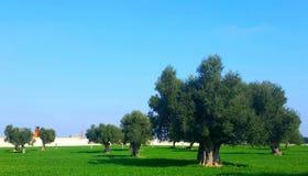 Оливковое дерево, Salento стоковое изображение rf
