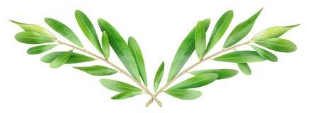 Оливковые ветки Стоковое Изображение