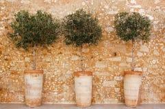 Оливковые дерева в баке на Крите стоковые изображения