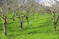 Оливковые дерева в зеленой долине Стоковые Изображения