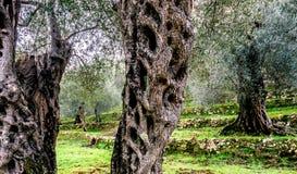 Оливковые дерева в осени в Valdanos, Ulcinj, Черногории Стоковые Фото