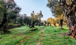 Оливковые дерева в осени в Valdanos, Ulcinj, Черногории Стоковое Фото