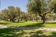 Оливковые дерева в парке, Иерусалиме Стоковое Изображение
