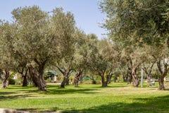 Оливковые дерева в парке, Иерусалиме Стоковые Изображения