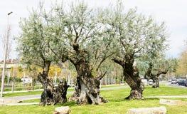 Оливковые дерева в парке Стоковое Изображение RF