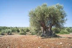 Оливковые дерева в плантации Стоковые Изображения