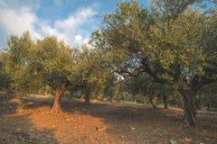 Оливковые дерева в плантации Стоковое Изображение