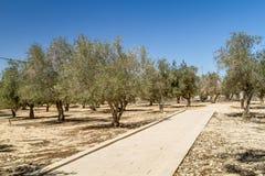 Оливковые дерева в саде Стоковые Фотографии RF