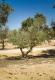 Оливковые дерева в саде Стоковые Фото