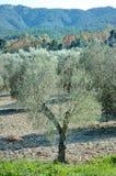 Оливковые дерева в сельском ландшафте в Apulia, Италии Стоковое Изображение