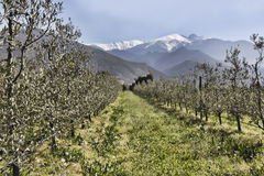 Оливковые дерева в строках под снежными пиками Стоковая Фотография