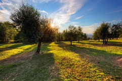Оливковые дерева в Тоскане, Италии на заходе солнца Стоковое фото RF