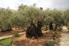 Оливковые дерева в церков Dominus Flevit стоковое изображение rf