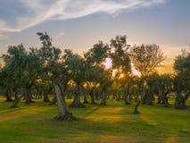 Оливковые дерева в Sicilia стоковые изображения