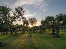 Оливковые дерева в Sicilia стоковые фотографии rf
