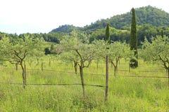 оливковые дерева засаженные в лете Стоковая Фотография RF
