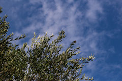 оливковые дерева, Италия, Apulia Стоковая Фотография