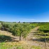 Оливковые дерева и виноградники в Италии Стоковая Фотография RF