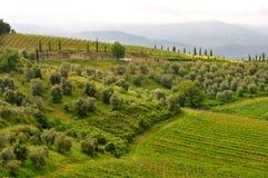 Оливковые дерева и виноградники в Тоскане, Италии Стоковое Фото