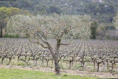 Оливковые дерева и виноградник, Провансаль стоковое фото rf