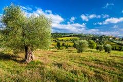 Оливковые дерева и поля в Тоскане Стоковое Изображение RF