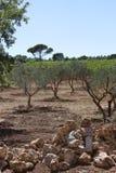 Оливковые дерева к югу от Франции Стоковые Изображения