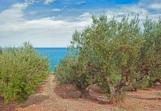 Оливковые дерева на морском побережье в Италии Стоковое Изображение RF