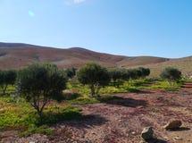 Оливковые дерева на сельской местности Фуэртевентуры Стоковое Изображение RF