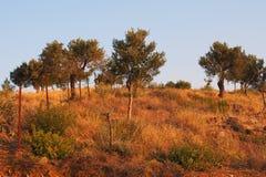 Оливковые дерева на сельском холме, Греции Стоковое Фото