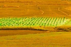 Оливковые дерева на холмах Стоковая Фотография RF