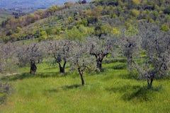 Оливковые дерева на холме Стоковое фото RF
