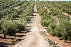 Оливковые дерева достигая к горизонту в Андалусии Стоковое фото RF