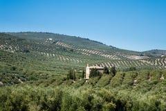 Оливковые дерева достигая к горизонту в Андалусии Стоковое Фото