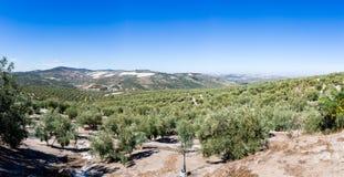 Оливковые дерева достигая к горизонту в Андалусии Стоковые Изображения RF