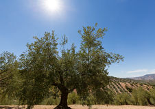 Оливковые дерева достигая к горизонту в Андалусии Стоковые Фотографии RF