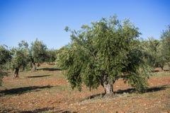 Оливковые дерева плантации Стоковое Фото