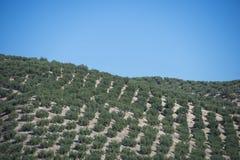 Оливковые дерева плантации Стоковое фото RF