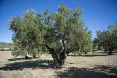 Оливковые дерева плантации Стоковое Изображение RF