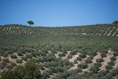 Оливковые дерева плантации Стоковые Изображения RF