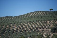 Оливковые дерева плантации Стоковые Изображения