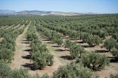 Оливковые дерева плантации Стоковые Фото