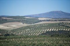 Оливковые дерева плантации Стоковая Фотография RF