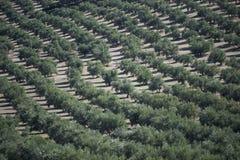 Оливковые дерева плантации Стоковое Изображение