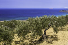 Оливковые дерева растя на холме над морем Стоковое Изображение RF