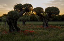 Оливковые дерева с маками Стоковое Изображение