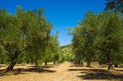 Оливковые дерева Хорватия Стоковая Фотография