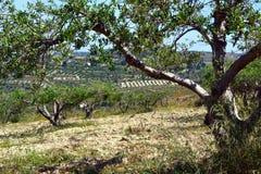 Оливковые дерева. Стоковые Изображения RF