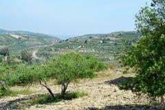 Оливковые дерева. Стоковые Фото